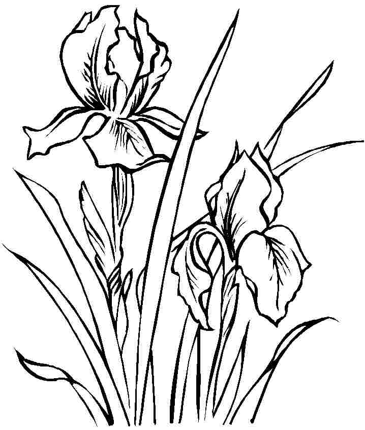 Coloring Sheets Iris Flowers Free Printable For Little Kids 20442#